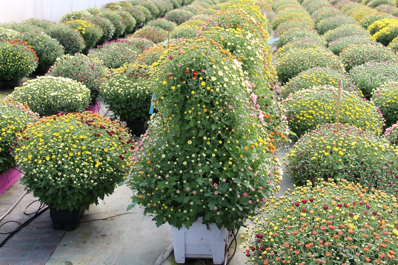 Nos colonnes de chrysanthèmes à petites fleurs