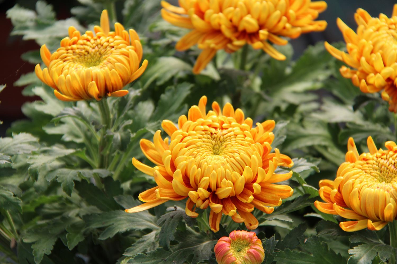 Nos chrysanthèmes à grosses fleurs
