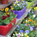 Un exemple de nos jardinières de pensées cornutas