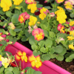 Un exemple de nos pensées cornutas roses et jaunes