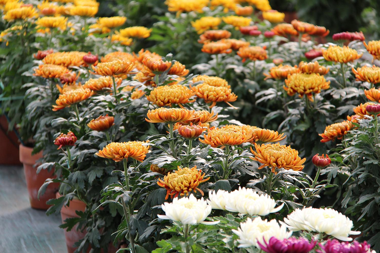 Nos serres de chrysanthèmes à grosses fleurs
