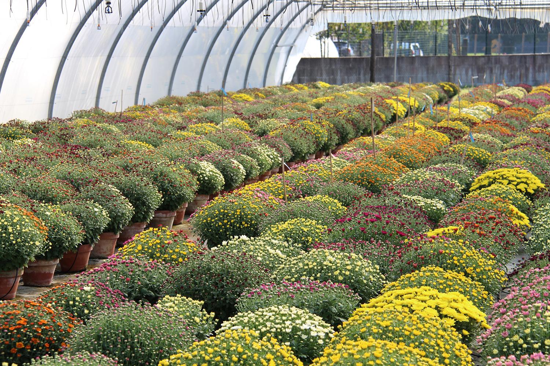 Nos serres de chrysanthèmes à petites fleurs