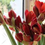 Les amarillys pour offrir à la Saint Valentin