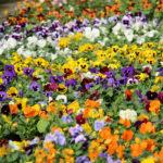 Photo de nos pensées à grosses fleurs
