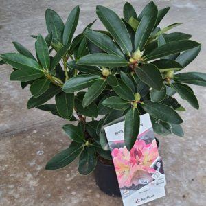 Rhododendron pot de 3L - différents coloris au choix