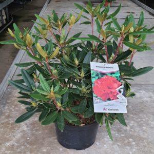 Rhododendron pot de 7,5L - différents coloris au choix