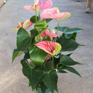 Anthurium rose en pot de 14cm