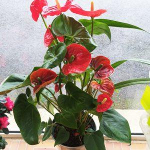Anthurium rouge en pot de 17cm