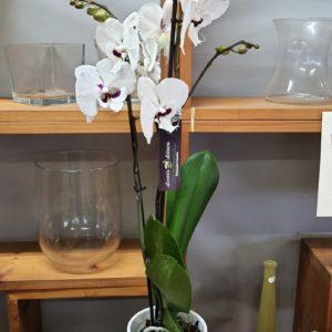 Orchidée 2 branches blanche à cœur bordeaux