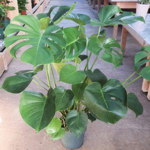 Philodendron monstera en pot de 19cm et 90cm de haut