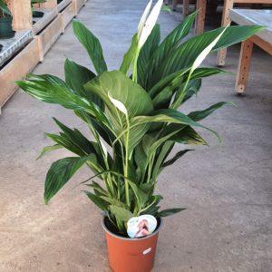 Spathiphyllum en pot de 19cm