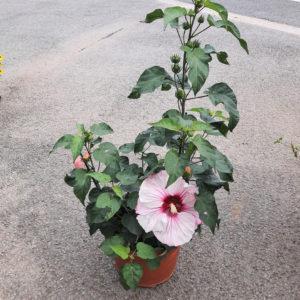 Hibiscus moscheutos rose 10L