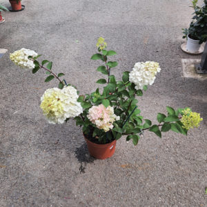 Hydrangea paniculata framboisine 5L