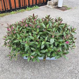 Jardinière de véroniques roses 40cm