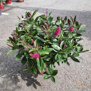 Véronique rose feuillage vert Ø17